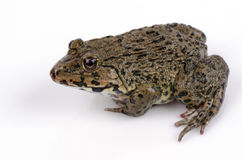 Chinese edible frog, East asian bullfrog, Taiwanese frog (Hoplobatrachus rugulosus) Stock Image