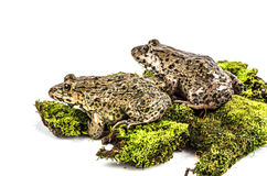 Chinese edible frog, East asian bullfrog, Taiwanese frog (Hoplobatrachus rugulosus) Royalty Free Stock Images