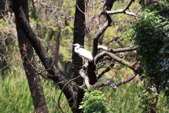 Chinese egret. Or Swinhoe`s egret is a threatened species of egret from east Asia Stock Photo