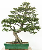 Chinese elm as bonsai tree Royalty Free Stock Photo