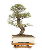 Chinese Elm bonsai tree, Ulmus Stock Photo