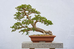 Chinese Elm Bonzai Royalty Free Stock Photo