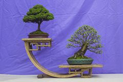Chinese Elm and a Chamaecyparis Bonsai combination in training in Northern Ireland and on display at the Belfast spring festival a. A Chinese Elm and a royalty free stock photography