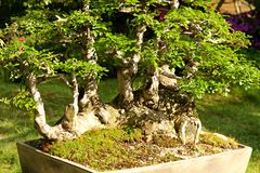 Chinese elm Royalty Free Stock Photos
