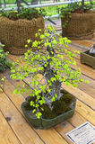 Chinese Elm Ulmus parvifolia - Bonsai in the style of Royalty Free Stock Photography