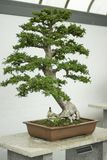 Chinese elm on a white table royalty free stock photos
