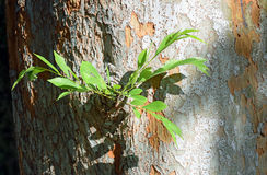 Chinese Elm (Ulmus parvifolia) trunk side growth and bark. Stock Images