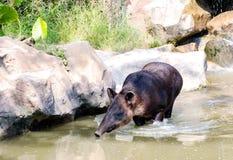 Chinese en Amerikaanse tapir stock foto's
