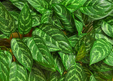 Chinese Evergreen Houseplant Stock Image