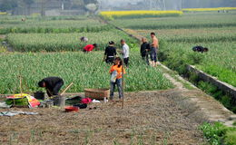 Pengzhou, China: Farmers Harvesting Garlic Stock Photography