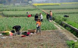 Pengzhou, China: Farmers Harvesting Garlic Stock Photography