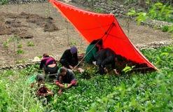 Pengzhou, China: Family Harvesting Spinach Royalty Free Stock Photo