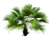 Chinese Fan Palm Royalty Free Stock Image