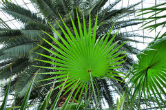 Chinese fan palm tree Royalty Free Stock Photos