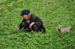 Pengzhou, China: Farmer Harvesting Spinach Stock Image