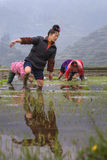 Chinese farmer girl walks barefoot through mud of paddy field. Stock Photos