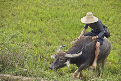 Chinese farmer guiding his buffalo Royalty Free Stock Photography