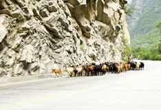 Chinese   farmer herding sheep. A  Chinese  farmer is herding sheep flock under mountains road Stock Image