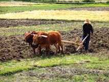 Chinese farmer plowing a field with a wooden plow and harness of buffaloes Royalty Free Stock Photo
