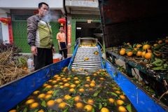 Chinese farmer prepares the harvest of oranges for processing. Stock Photos