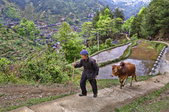 Chinese farmer rises up mountain path, holding reins red buffalo Stock Photos