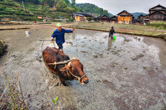 Chinese farmer tills land, rice fields, using  power of cow. Royalty Free Stock Photos