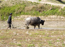 Chinese farmer  working. A Chinese farmer is working in his farmland with his farm cattle Stock Photography