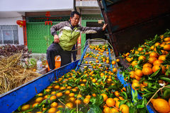 Chinese farmer working on fruit washing machine, processes harve Royalty Free Stock Photos