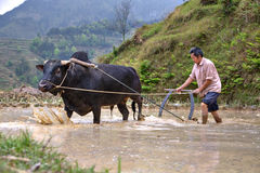 Chinese farmer works in a field ox pulling a plow. Royalty Free Stock Images