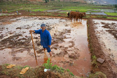 Chinese farmer works hard on rice field Royalty Free Stock Image