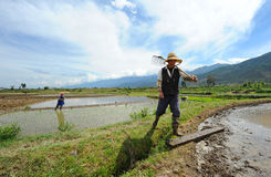 Chinese farmer works in a rice field Royalty Free Stock Images