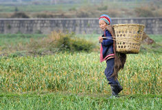 Chinese farmer works in a rice field Stock Images