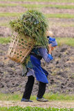 Chinese farmer works in a rice field Royalty Free Stock Photo