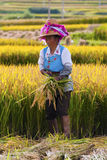 Chinese farmer works in a rice field Royalty Free Stock Photos