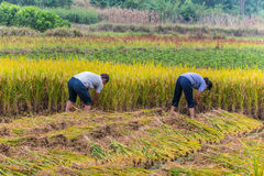 Chinese farmers harvested rice Stock Photography