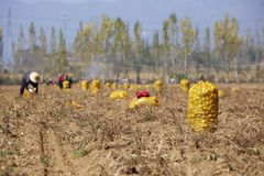 Chinese farmers harvesting potatoes royalty free stock photography