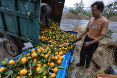 Chinese farmers unload truck with harvest of fresh ripe oranges. Stock Photo