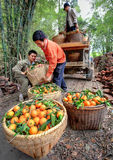 Chinese farmers unload truck with oranges in wicker baskets, Gua Stock Photography
