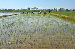 Chinese farmers work rice field Stock Photo