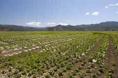 Chinese Farmlands. Rows of crops planted in the soil beside Lugu Lake in Yunnan province, southern China Royalty Free Stock Images