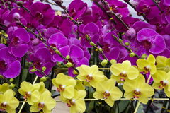 Chinese  festival  flowers Royalty Free Stock Photography