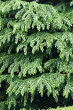 Chinese fir. Grow new leaves in spring Royalty Free Stock Image