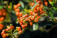 Chinese firethorn with green leaf Royalty Free Stock Image