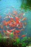 Chinese fish Royalty Free Stock Image