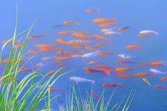 Chinese fish Stock Image