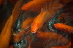 Chinese fish in a pond in China stock image