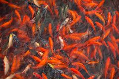 Chinese fish in a pond in China royalty free stock images