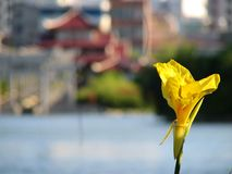 Chinese flower. A yellow flower with a pagoda as background Royalty Free Stock Photography