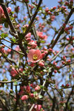 Chinese flowering apple blooming in the spring Royalty Free Stock Image