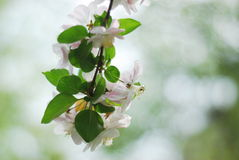 Chinese flowering apple. In the garden and sunny day many flowers royalty free stock photo